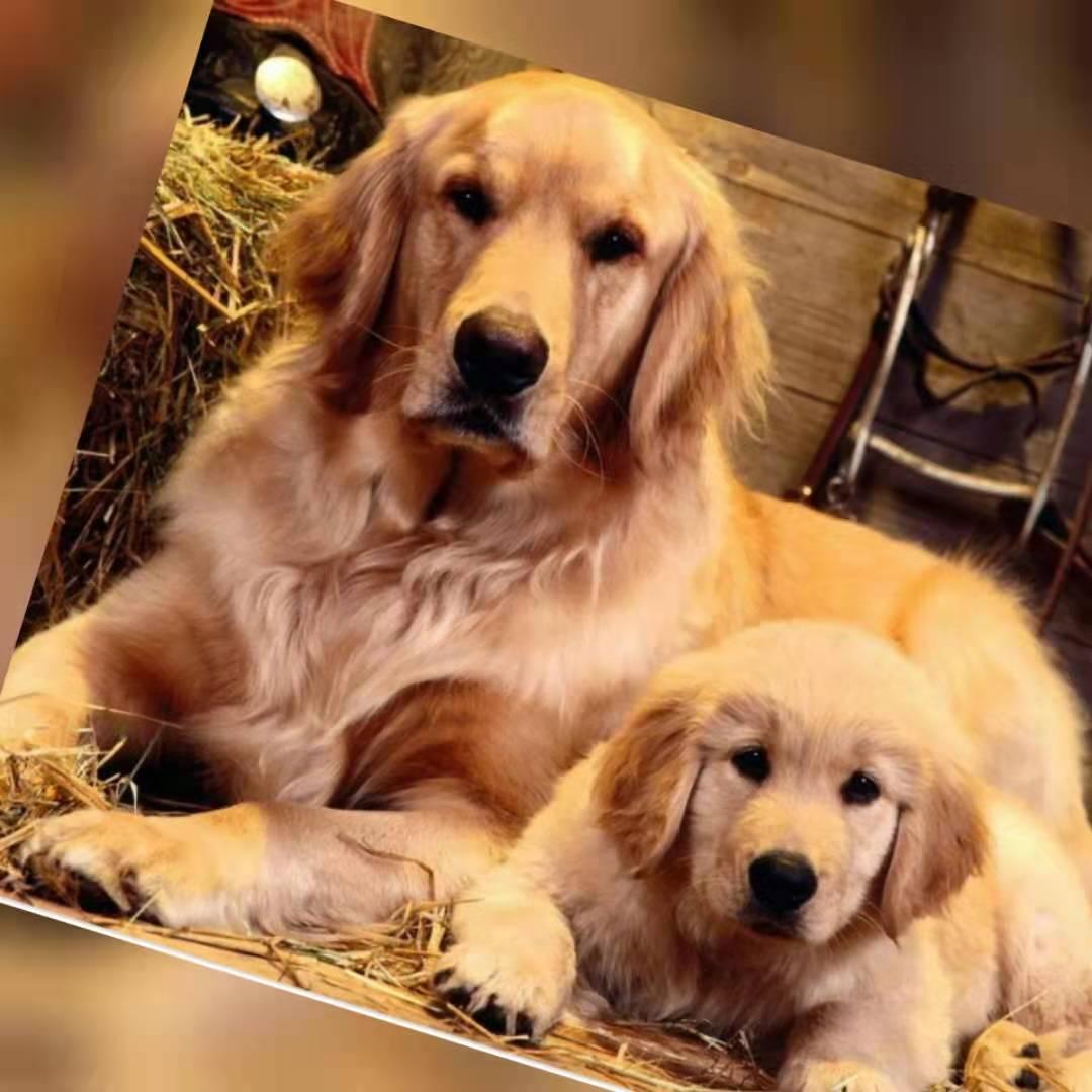 黄金猎犬_gold retriever